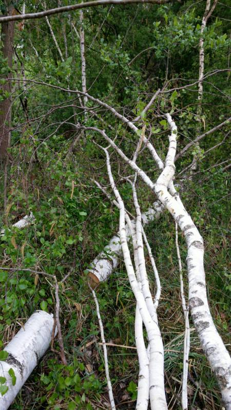 Someone had felled a birch.